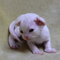 Red Hot Chili - Devon Rex kenel